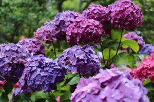 violet 1, roz 0